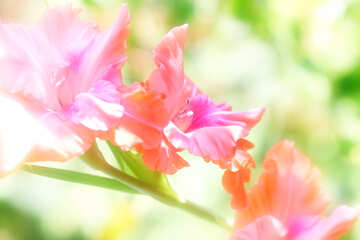 Bright background from gladiolus №33475