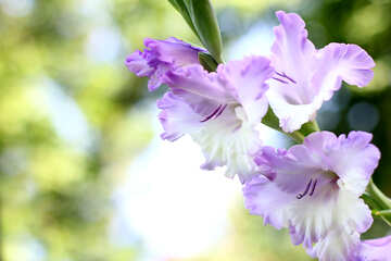Images for cards the flower gladiolus №33786