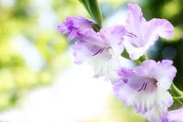 Foto sul Gladiolo fiore di tabella №33787