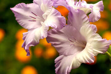 Picture gladiolus for congratulations №33747