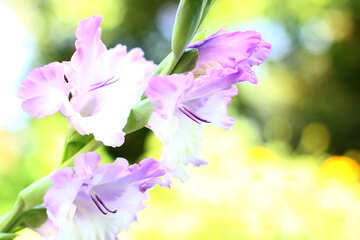 Wallpaper desktop flower of gladiolus №33788