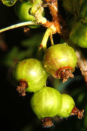 Gooseberry №33613
