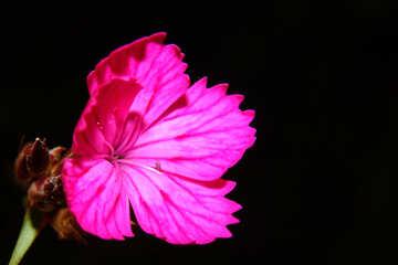 Carnation flower in isolation