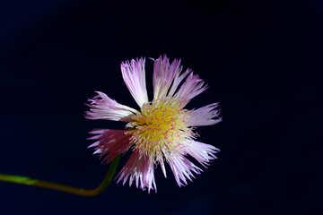 Flower cornflower in isolation №33424