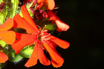 The little red flower isolated macro №33384