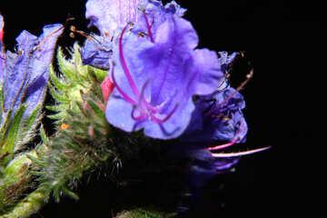 Macro isolated blue flower №33349