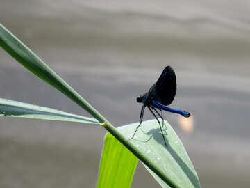 Blue dragonfly №33266