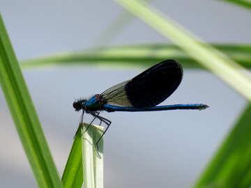 Dark blue dragonfly №33259