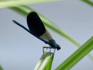 Dragonfly with blue wings №33260