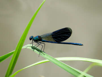 Dragonfly with blue wings №33270