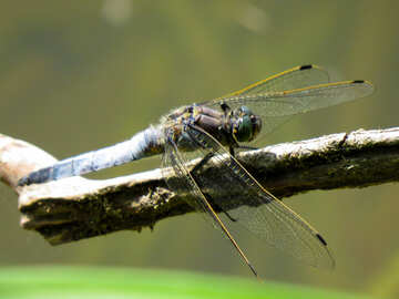 Dragonfly folded her wings №33275