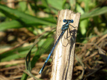 Small dragonfly №33269