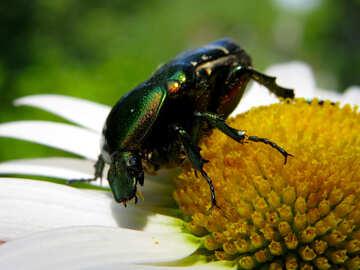 Macro beetle on flower №33711
