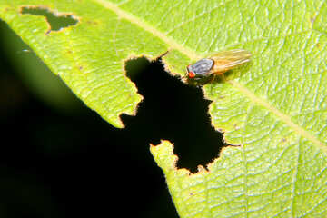 Fly insect  №33875