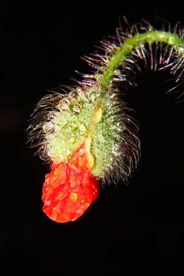 Bud poppy №33388