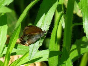 Satyrinae butterflies №33841