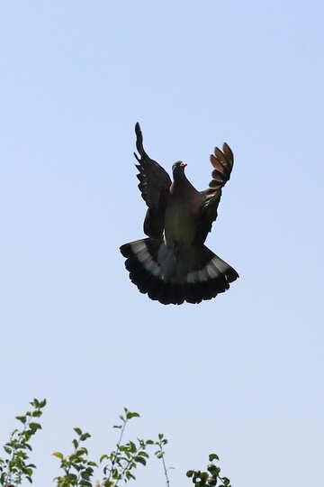 Pigeon flies №33806