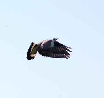 Pigeon flies №33812