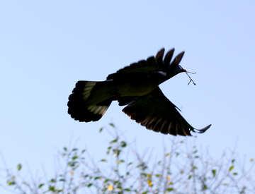 Pigeon flies with sprig №33820