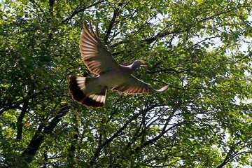 Wild pigeon №33814