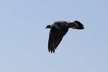 Wild pigeon №33816