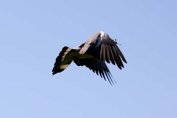 Wood pigeon flies №33819