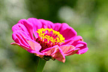 Flower background for the cover of Zinnia  №33441