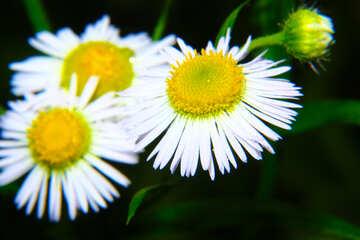 Flowers like daisies №33403