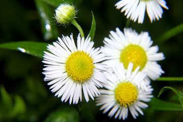 The flowers look like daisies №33402