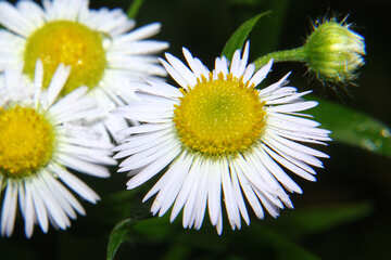 Blumen weiß und gelb №33400