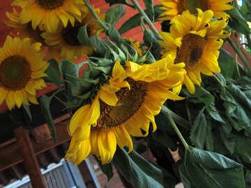 Strauß von Sonnenblumen in der Hütte №33051