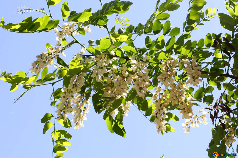 The sprig of Acacia with white flowers №33674