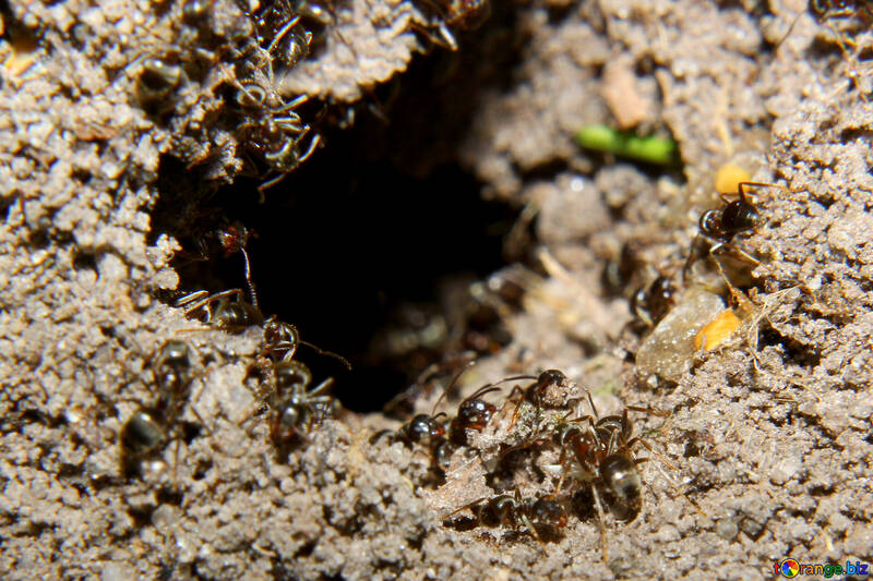 Ants in the anthill №33870