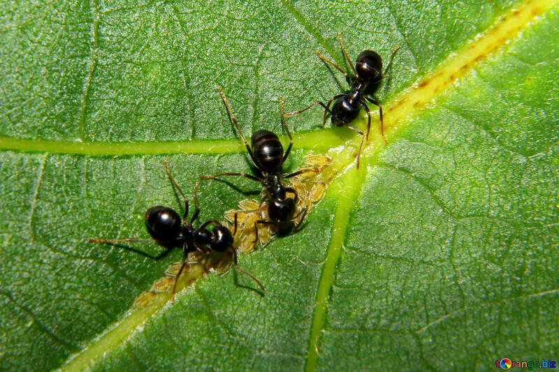 Ants and aphids №33892