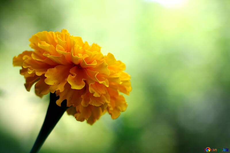 Marigold №33462