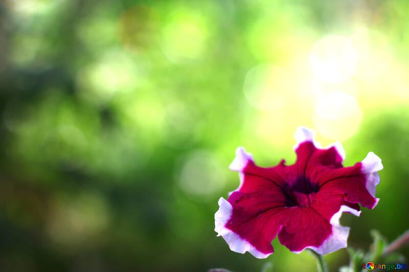 Вьюнок красивый цветок фон для поздравления  №33455
