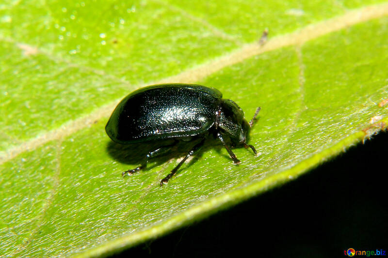 Small black beetle №33872