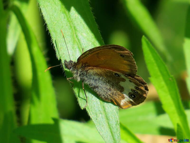 Mariposa de Arkania №33840