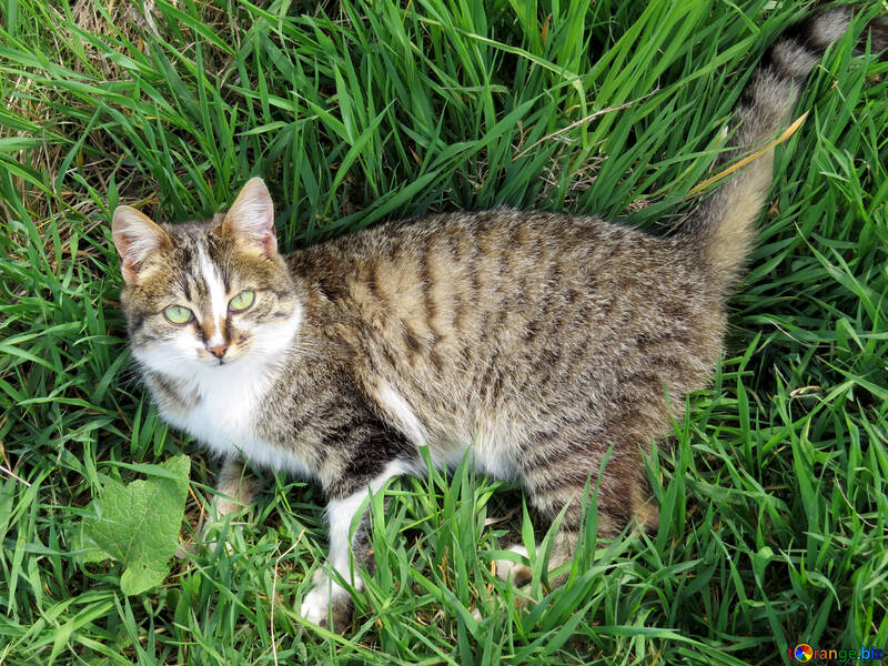 The cat is lying in the grass №33303