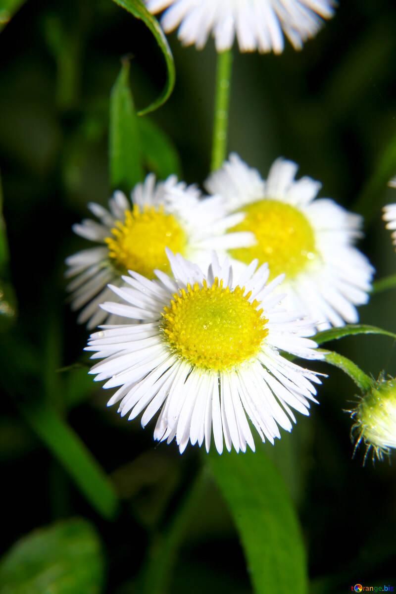 Daisy-like flower №33401