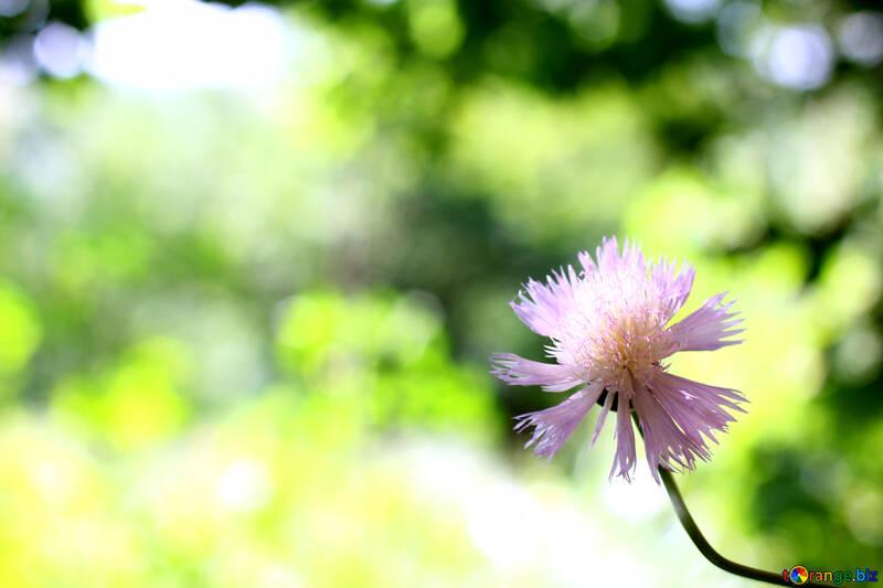 Fondos de escritorio delicada flor №33427