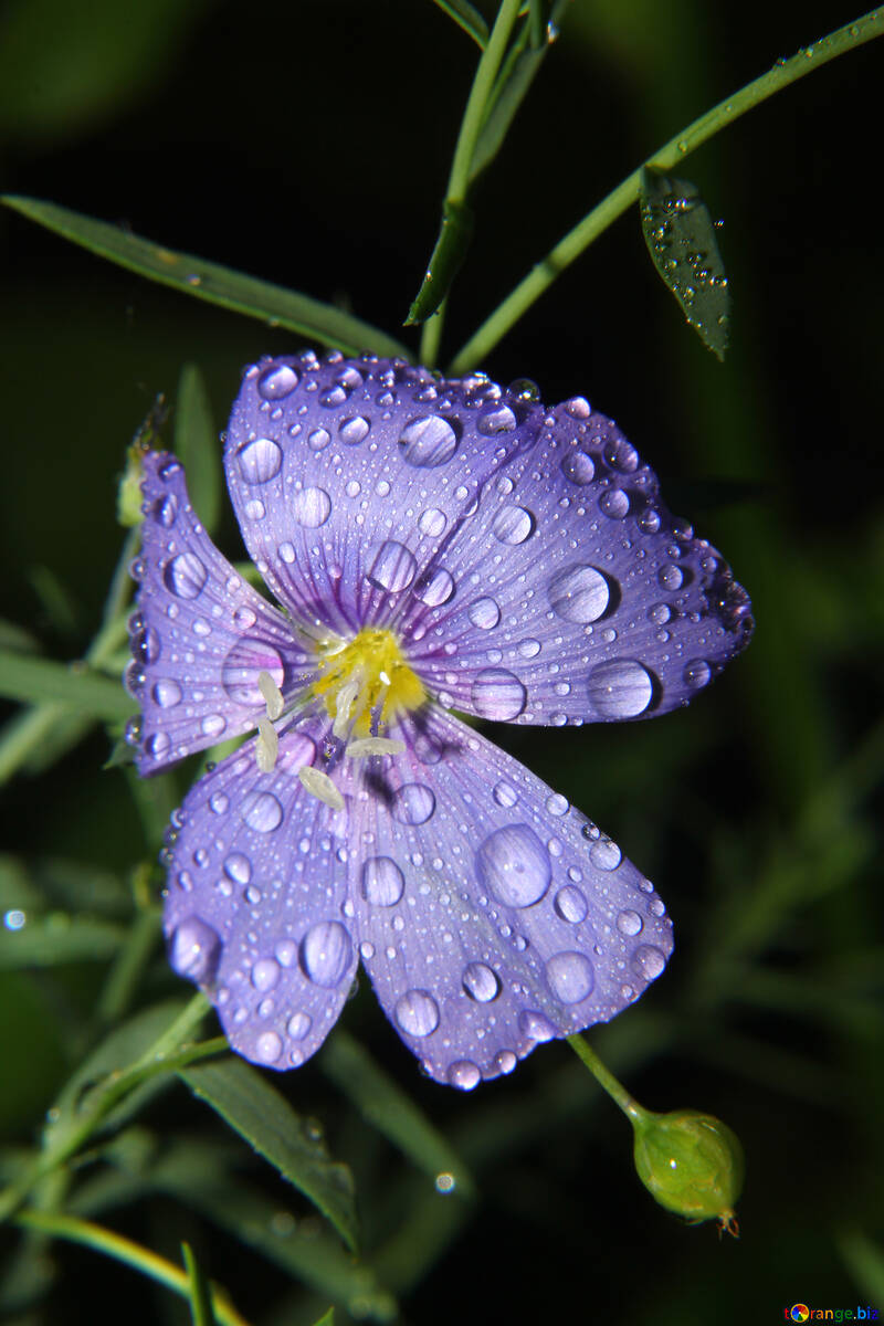 Flower with drops of dew №33404