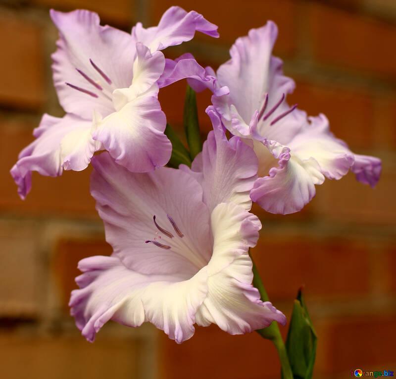 Flores del gladiolo №33735
