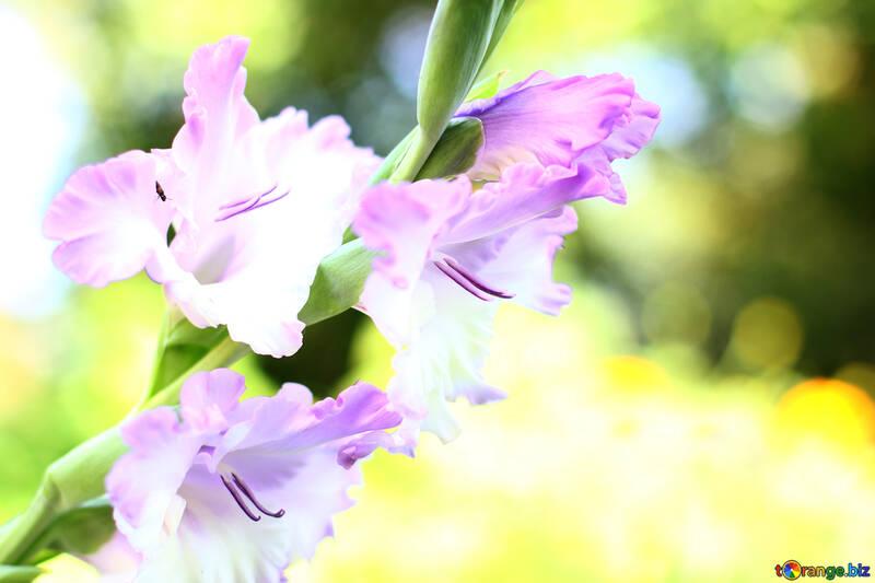 Fondos de escritorio flor de gladiolos №33788