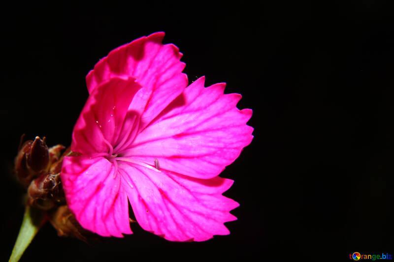 Carnation flower in isolation №33339