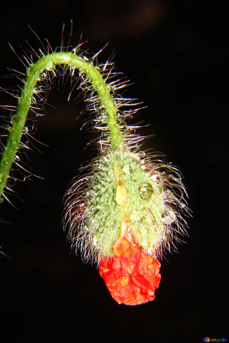 Dew drops on bud poppy flower №33390