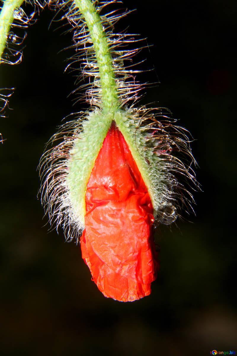 Dissolving the poppy flower №33393