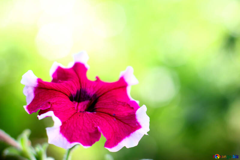 Foto di fiore di convolvolo sul desktop №33454