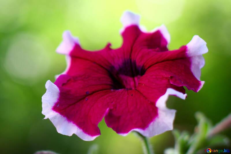 Convolvulus garden №33456