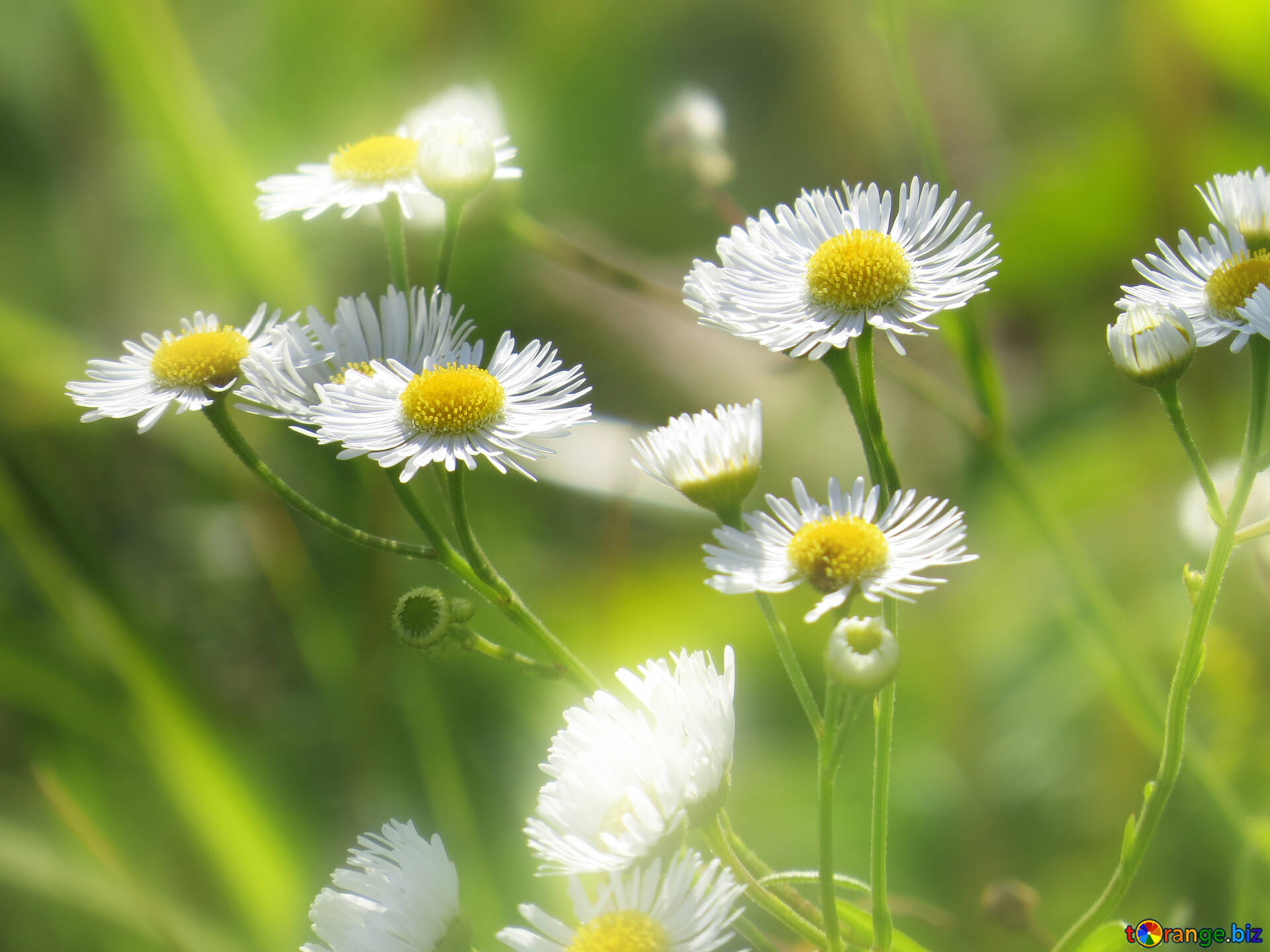 Download Free Image Daisies Wallpaper On The Desktop In HD Size 1920px